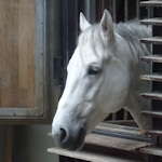 Head of a Lipizzaner horse