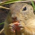 Head of a European ground squirrel