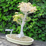 A bonsai tree