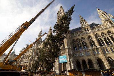 Putting up the Rathaus Christmas tree