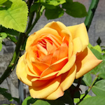 A Viennese rose